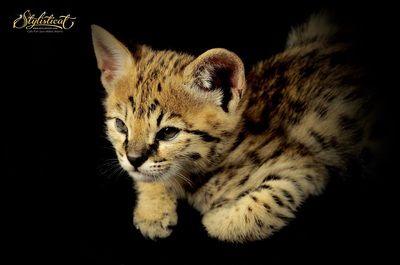 http://www.stylisticat.com/f2-savannah-kittens-for-sale.html
