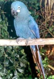Arara Azul de Lear