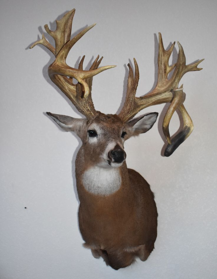 Taxidermy and Tanning Chemicals Mule deer, Tanning
