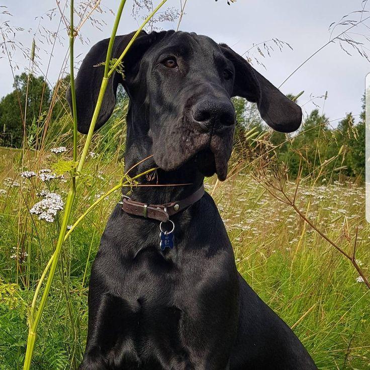 My Great Dane puppy