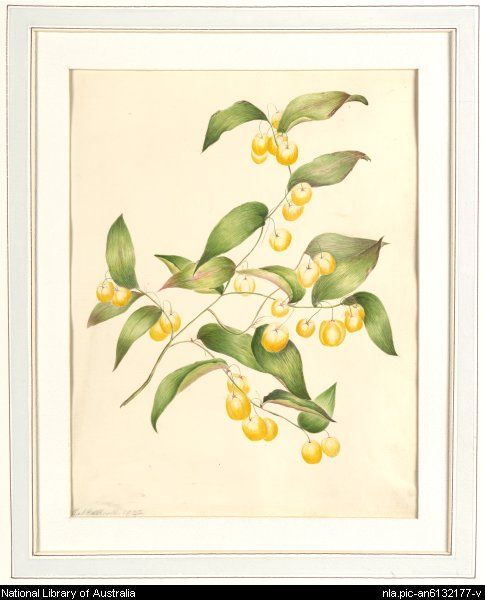 Scott, Harriet, 1830-1907.  [Wombat berry, Botany Bay, N.S.W.] [picture]  [1842] 1 watercolour ; 31.7 x 24.5 cm. (s.m.)  From National Library of Australia collection  http://nla.gov.au/nla.pic-an6132177    nla.pic-an6132177