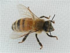 All Florida Bee Removal : Stinging Insect Information - free honey bee removal inspection services from professional bee removal experts entomologists beekeepers who remove bees from houses buildings trees // Paid removal, hotline number