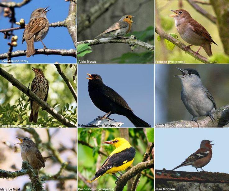 Les neuf candidats virtuoses sélectionnés (de gauche à droite et de haut en bas) : Accenteur mouchet (Prunella modularis), Rougegorge familier (Erithacus rubecula), Rossignol philomèle (Luscinia megarhynchos), Grive musicienne (Turdus philomelos), Merle noir (Turdus merula), Fauvette à tête noire (Sylvia atricapilla), Troglodyte mignon (Troglodytes troglodytes), Loriot d'Europe (Oriolus oriolus) et Pinson des arbres (Fringilla coelebs).