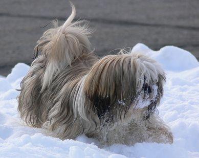 ¿Cuál es la diferencia entre las razas de perros Lhasa Apso y Shih Tzu? | eHow en Español