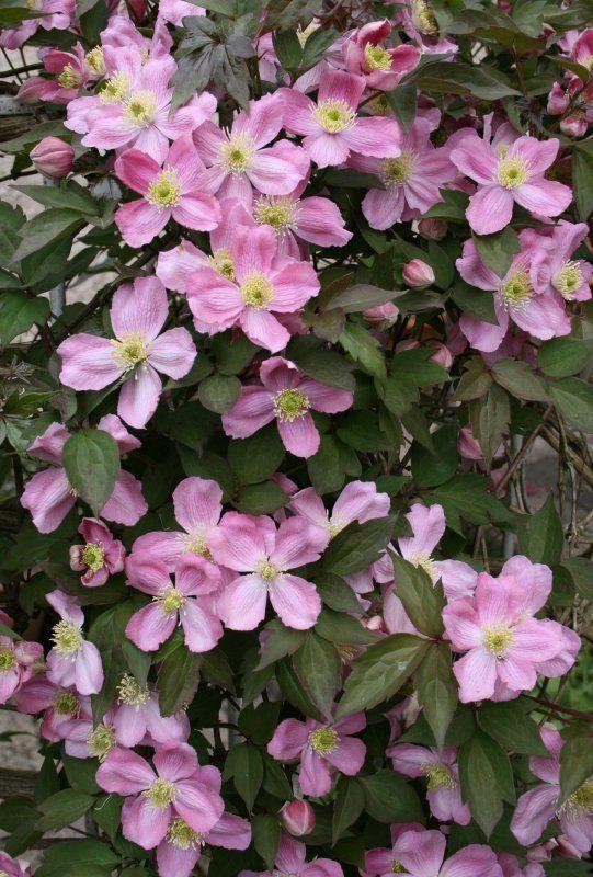 17 meilleures id es propos de clematis montana sur pinterest fleuraison de la vigne. Black Bedroom Furniture Sets. Home Design Ideas