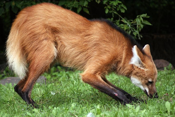Maned Wolf; all time favorite mammal. (I know, I shouldn't have favorites. But ah.)