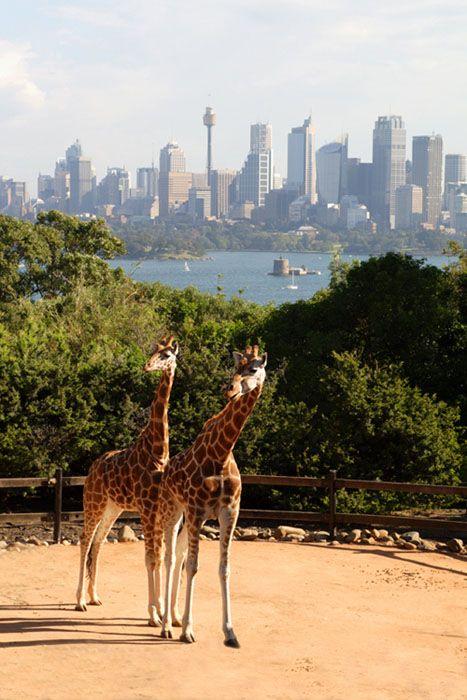 Giraffes at Taronga Zoo enjoy breathtaking views of Sydney Harbour.