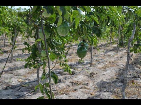 Como Plantar Maracujá - Entenda a Produção