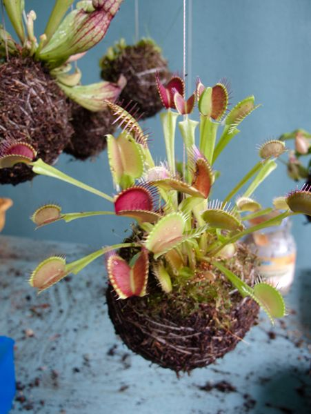carnivorous string garden - great for in the kitchen during fruit fly season...