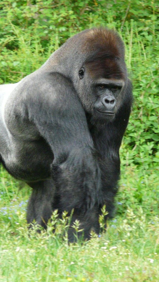 Proud Silverback Gorilla
