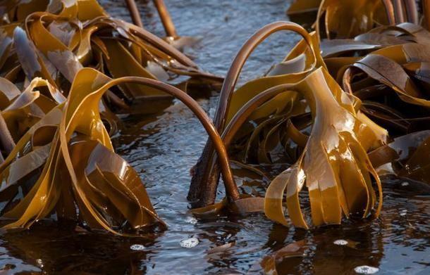 Nytt Norge - Havets grønnsaker tang og tare inn i kosten