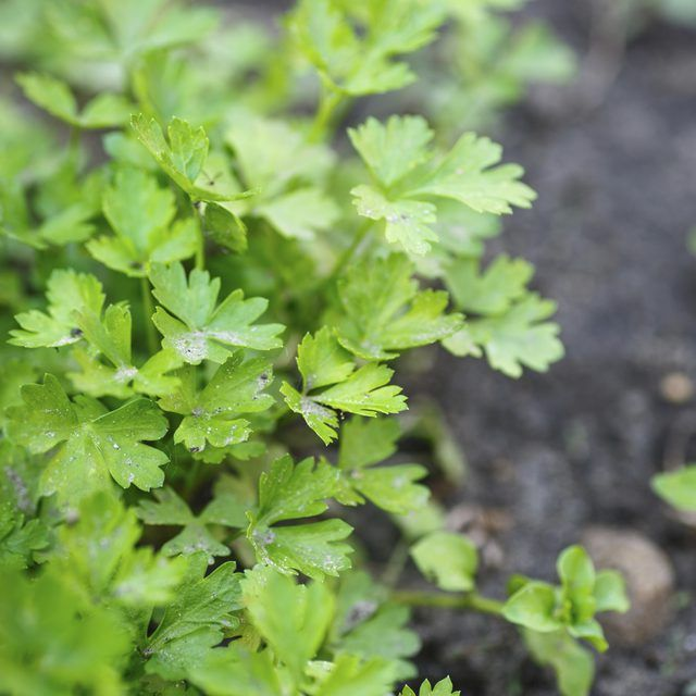 Keep cilantro plants lush and healthy.