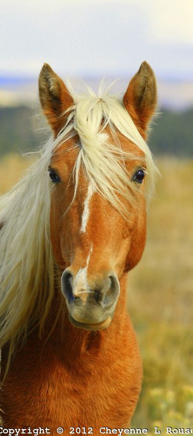 Rescued mustang on the Monero Mustang Sanctuary in Tierra Amarillas New Mexico palomino Mustang