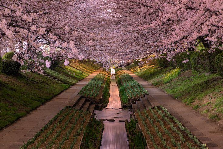 Cherry blossoms in bloom in the Tszuki Ward of Yokohama, Japan. #sakura