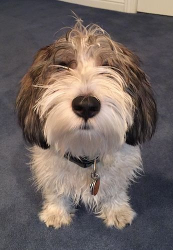 Petit Basset Griffon Vendeen Dog Breed Information and Pictures