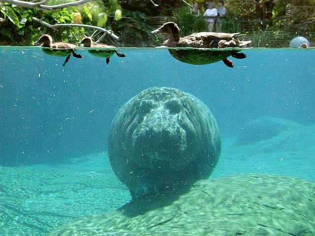 hippo dans l'eau: Random Pictures, Hippo Fun, Funny Pictures, Pictures Dump, Manatees, Hippo Dan, Sea Cows, Les Zanimaux, Animal