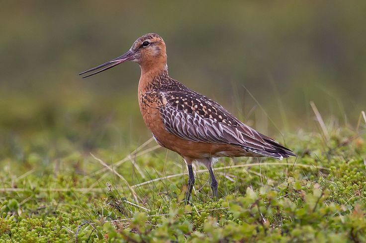 Myrspov :Bar-tailed Godwit.jpg