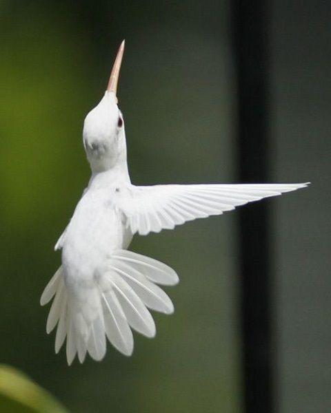 colibri albinos