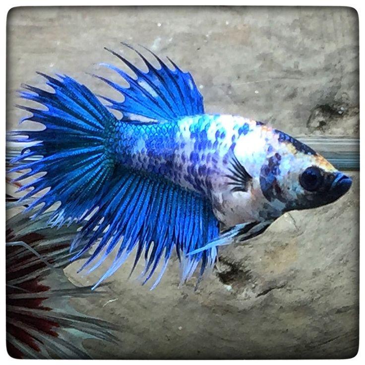 AquaBid.com - Blue dragons Female (1087) Crowntail | Betta ... - photo#46