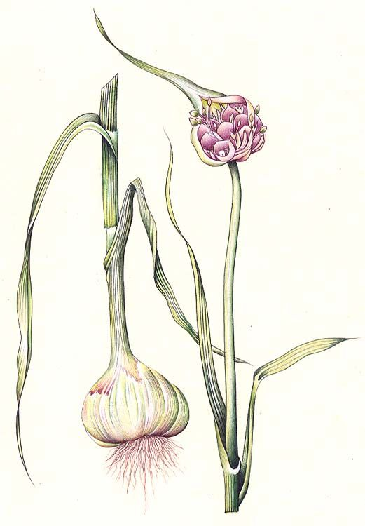 Botanical illustration of an onion plant