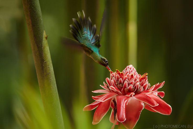 Kolibřík šedobřichý