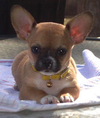 French Bullhuahua, Chihuahua / French Bulldog Hybrid. I NEED ONE
