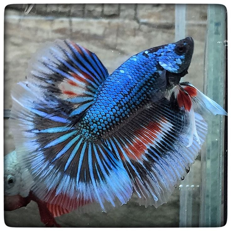 Indiana blue dragon 1451 beautiful betta for Betta fish water temp