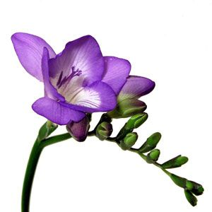FiftyFlowers.com - Purple Freesia Flower - 80 - 100 Stems for $149.99