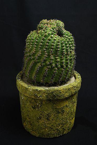 黒刺鳳頭 Gymnocalycium asterium f.