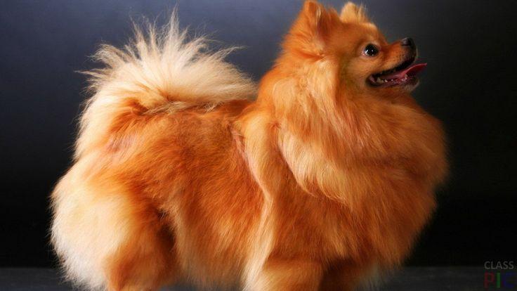 Померанский шпиц (29 фото) http://classpic.ru/blog/pomeranskij-shpits-29-foto.html   Померанский шпиц — невероятно харизматичная порода собак. Она обаятельна и весела и одинаково хорошо уживается как с людьми разных возрастов,...
