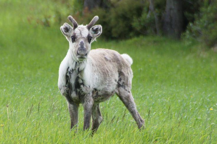 Reindeer area Taivalkoski, Lapland, Finland