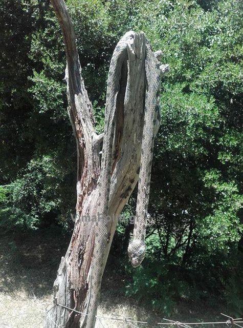 Φίδι-τέρας αναστατώνει χωρίο μεχρι που έπεσε θύμα ατρόμητου νέου