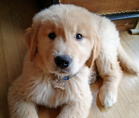 You know someone is already calling him Fergie baby-cause how could you not? -Fergus the Golden Retriever