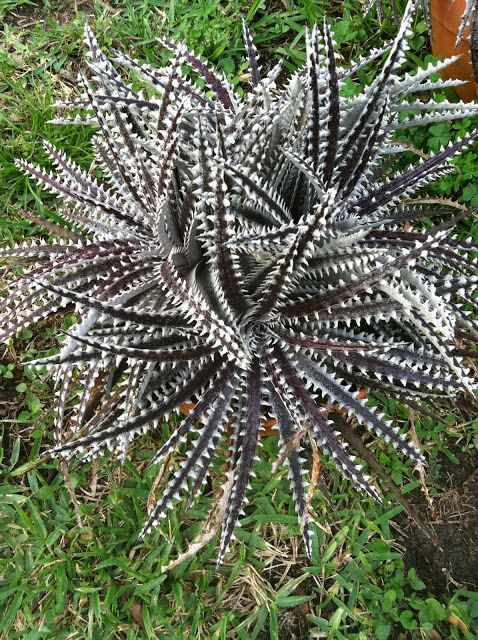 Dyckia 'Arizona' x 'Brittle Star'