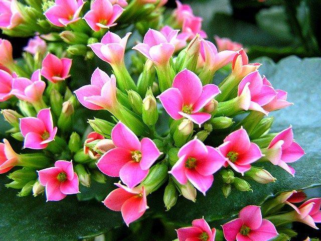属名カランコエ(kalanchoe)の名称は、中国名「加籃菜」の発音に由来するといわれています。カランコエの花言葉は、「幸福を告げる」「たくさんの小さな思い出」「あなたを守る」「おおらかな心」。 @Taidobuy#taidobuy#ファション#デザイン#可愛い#きれい#お洒落#いいね#シック#レディース#メンズ服#靴#ドレス#ワンピース#下着&水着#トップス#バッグ#アウター#ボトムス#スカート#アクセサリー#ウエディング