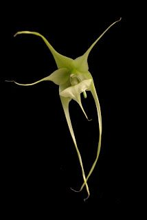 Species Identification Task Force Submissions: Aeranthes
