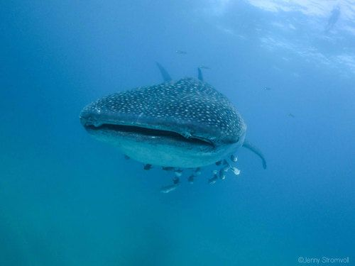 Whale shark in Ponta do Ouro Mozambique.