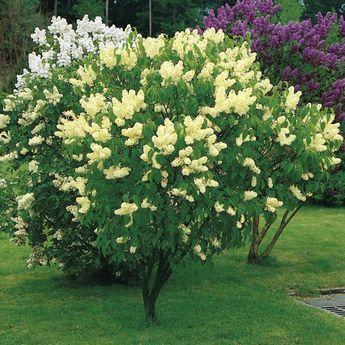 syringa vulgaris primrose lilac Yellow | Lilac Primrose