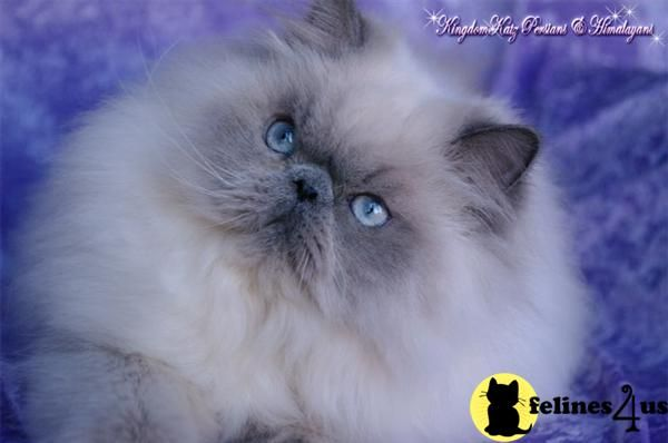 For me, there is nothing like a Blue Point Himalayan!