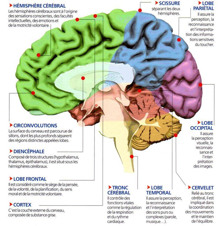 Vue sagittale démontrant différentes régions du cerveau et leurs fonctions