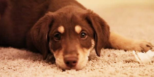 Are Labs Good Dogs To Have In University