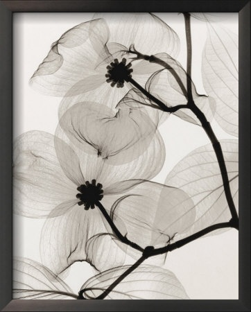 Dogwood Blossoms X-ray photography by Steven N. Meyers