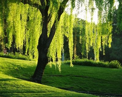 willow tree.