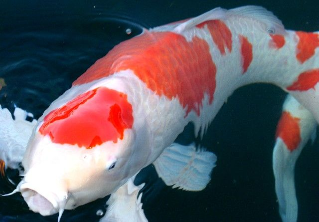 17 best images about pond on pinterest backyard ponds for Rare koi fish