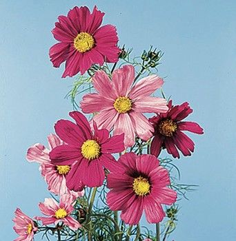 cosmos for wedding flowers | Picture of Cosmos