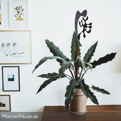 Dieser tropische Mitbewohner ist Dank seines imposanten Erscheinungsbildes in jeder Wohnung ein Hingucker. Die unbändigen Blätter in Pfeilform bringen Style…