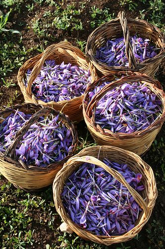 Gathering Saffron in Navelli (Abruzzo, Italy). Saffron is obtained by collecting the flower stamens of a very specific iris flower. It is difficult work and that is the reason why saffron is so expensive.