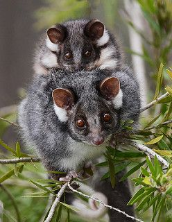 Ringtail Possum Mother and Baby