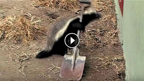 His Honey Badger Kept Escaping, So He Set Up A Camera. What It Captured Is ASTONISHING!!