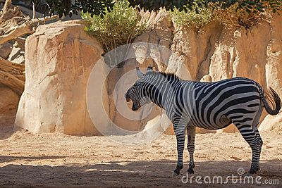 Download Zebra Portrait On African Savanna. Stock Photo for free or as low as 6.88 руб.. New users enjoy 60% OFF. 19,837,629 high-resolution stock photos and vector illustrations. Image: 35235180